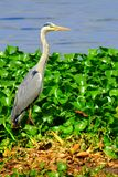 Grey Heron - Zimbabwe. Grey Heron on the side of Chivero Lake, Zimbabwe Royalty Free Stock Photo