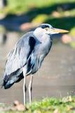 Grey Heron-zitting op weide stock afbeelding