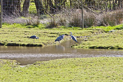 3 grey herons Ardea cinerea Royalty Free Stock Images