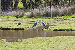 3 grey herons Ardea cinerea Stock Images