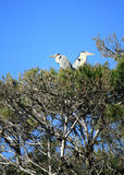 Grey herons, ardea cinerea, in a tree Royalty Free Stock Photo