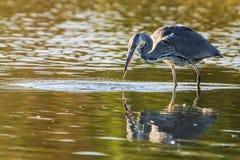 Grey Herons Catch stock afbeeldingen