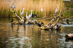 Grey Herons Stock Images