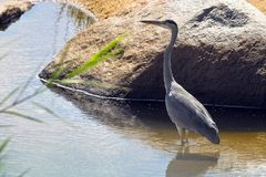 Grey herons or common herons (Ardea cinerea) Stock Photos