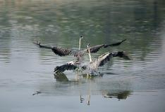 Grey Herons die voor grondgebied ruzie maken stock foto