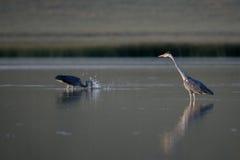 Grey Herons fiske för solnedgång Fotografering för Bildbyråer