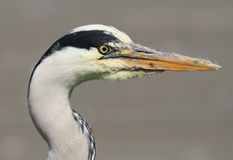 A grey herons head. A grey heron herons waders bird head close up of beak and eye Royalty Free Stock Photography