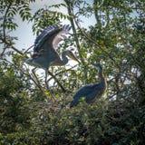 Grey Herons, het nestelen royalty-vrije stock foto