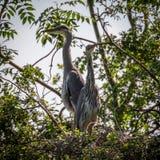 Grey Herons, het nestelen royalty-vrije stock foto's