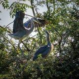 Grey Herons, het nestelen royalty-vrije stock afbeeldingen