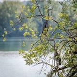 Grey Herons, het nestelen Stock Afbeelding