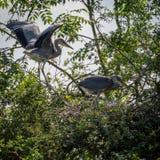 Grey Herons, het nestelen Stock Fotografie