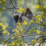 Grey Herons, het nestelen Royalty-vrije Stock Afbeelding