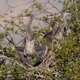 Grey Herons, het nestelen royalty-vrije stock fotografie