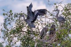 Grey Herons, het nestelen Stock Afbeeldingen