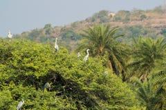 Grey Herons op Boom royalty-vrije stock fotografie