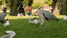 Grey herons in a park stock footage