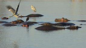 Grey herons standing on submerged hippos