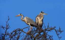 Grey Herons on the Top of a Tree Stock Image