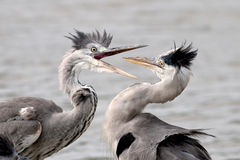 Grey herons Stock Images