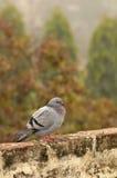 Grey himalyan pigeon stock photography