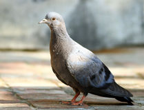 Grey himalyan pigeon Royalty Free Stock Photography