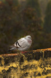 Grey himalyan pigeon stock photo