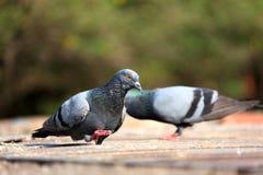 Grey himalyan pigeon Stock Image