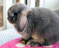 Grey holland lop Rabbit Royalty Free Stock Images