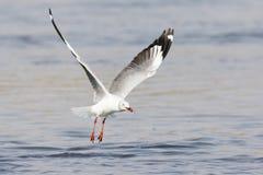 Grey Hooded Gull con il pesce in bocca immagine stock libera da diritti