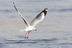 Grey Hooded Gull med fisken i mun Royaltyfri Bild