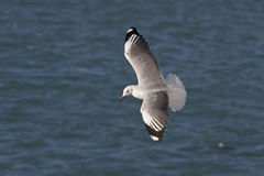 Grey-hooded Gull soaring over the Ocean Royalty Free Stock Photo