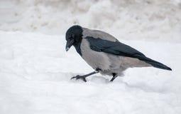 Grey Hooded-Krähe sitzt auf hartem Schnee im Winter stockfoto