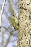 Grey-hooded woodpecker , male / Picus canus Stock Image