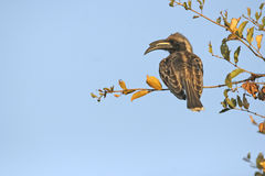 Grey hornbill Royalty Free Stock Photo