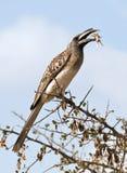 Grey hornbill eating grasshopper Royalty Free Stock Photos