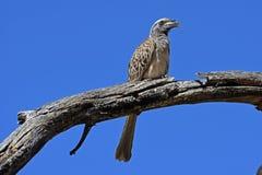 Grey hornbill Tockus nasutus in the Waterberg Biosphere Namibia. The grey hornbill Tockus nasutus dorsalis belongs to the family of the hornbills Bucerotidae. It stock photography