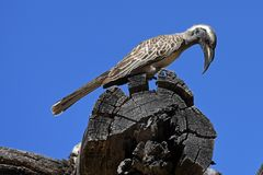 Grey hornbill Tockus nasutus in the Waterberg Biosphere Namibia. The grey hornbill Tockus nasutus dorsalis lives in the arid parts of South-West Africa royalty free stock photos