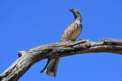 Grey hornbill Tockus nasutus in the Waterberg Biosphere Namibia. The grey hornbill Tockus nasutus dorsalis lives in the arid parts of South-West Africa stock photos