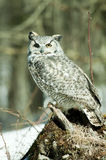 Grey horned owl Stock Image