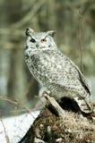 Grey horned owl Stock Image