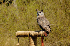Grey Horned Owl Stock Photos