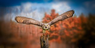 Grey Horned Owl. A close up of grey horned owl Stock Image