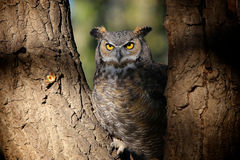 Grey Horned Owl nel parco di Colorado Immagine Stock