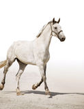 Grey horse. The freely running grey horse Royalty Free Stock Images
