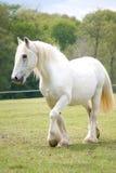 Grey horse Stock Photo