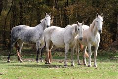 Grey horse Royalty Free Stock Photography