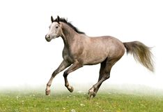 Grey horse  Stock Photo