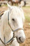 Grey Horse Royalty Free Stock Photos