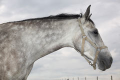 Grey horse Stock Photography